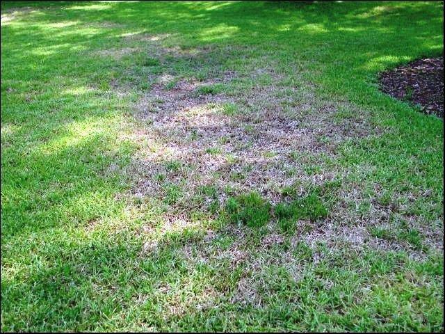 grub-damaged-lawn Saving Your Lawn from Grubs