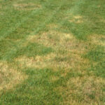 brown-patch-11388-brown-patch-7-ltc-150x150 Turf Diseases in Carmel, Indiana