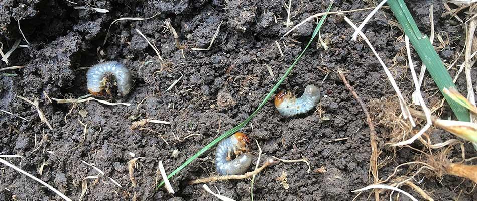 Grubs-live-in-soil